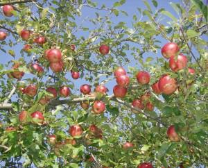 IBB-Pommes